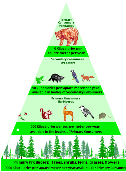 Ecology Pyramid - Environmental Science